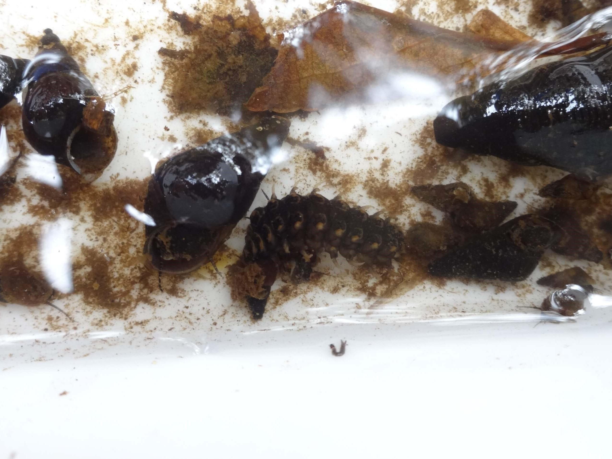 カワニナとホタルの幼虫
