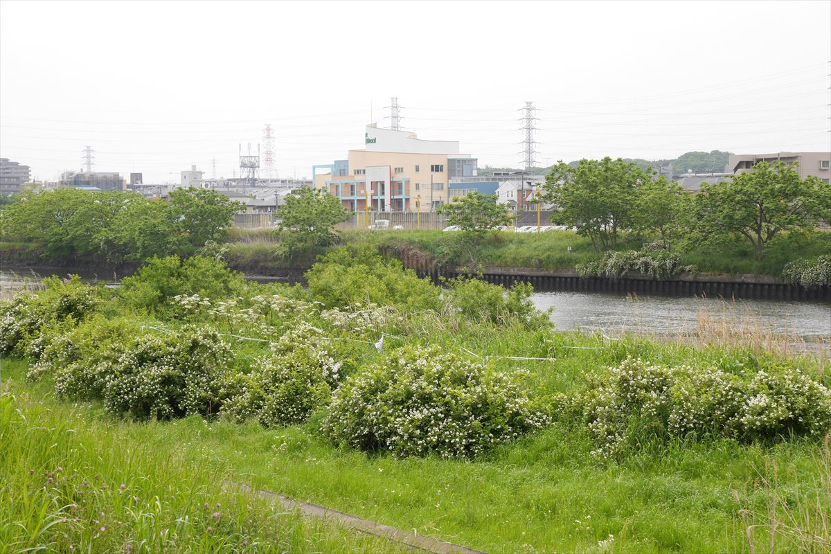 河川敷に整備されたノイバラの群落