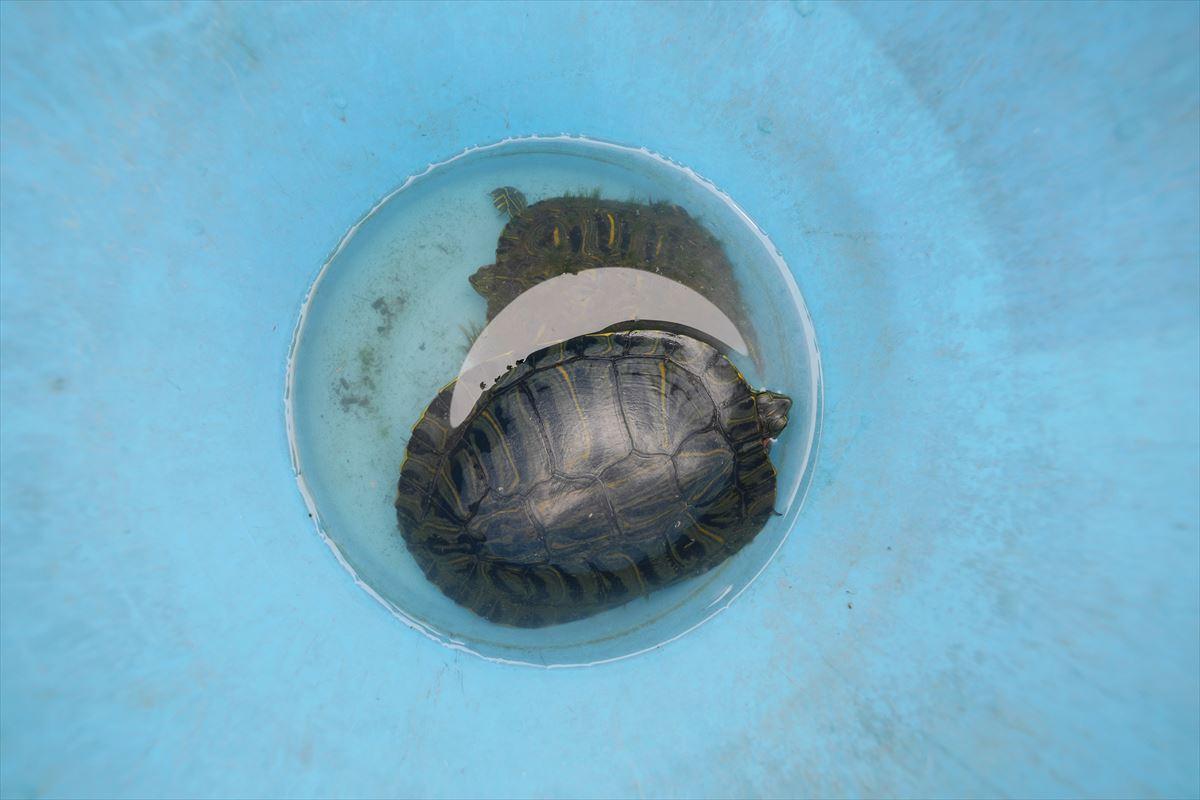 ミドリガメ = ミシシッピアカミミガメ のこんなに大きな個体も採れました