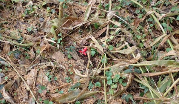 林床のミョウガの果実